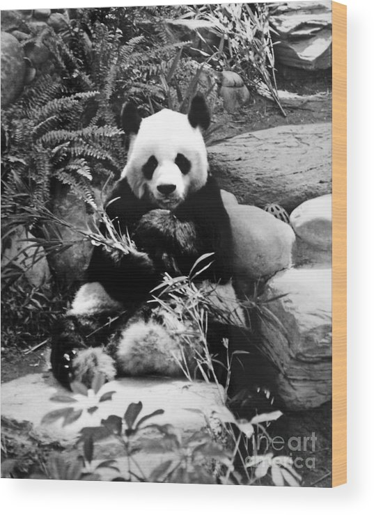 Giant Wood Print featuring the photograph Giant Panda In Black And White by Chris Smith