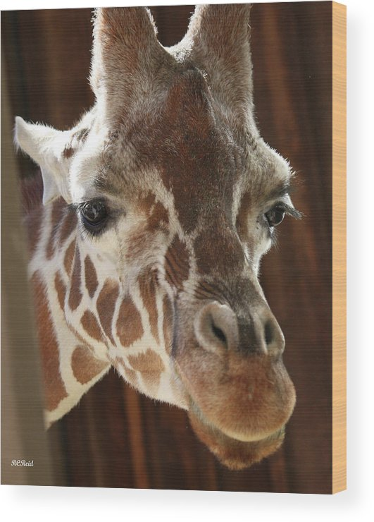 Maryland Wood Print featuring the photograph Giraffe Taking A Peek by Ronald Reid