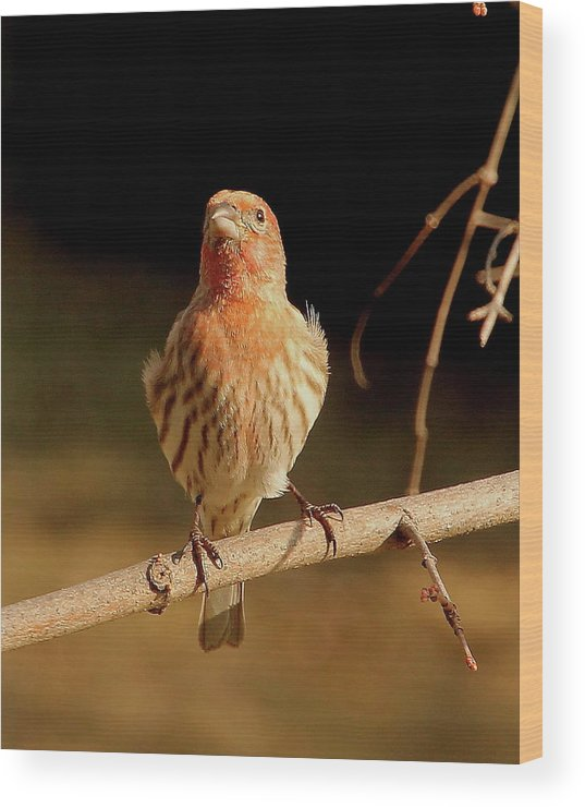 Birds Wood Print featuring the photograph House Finch by Angie Sabo