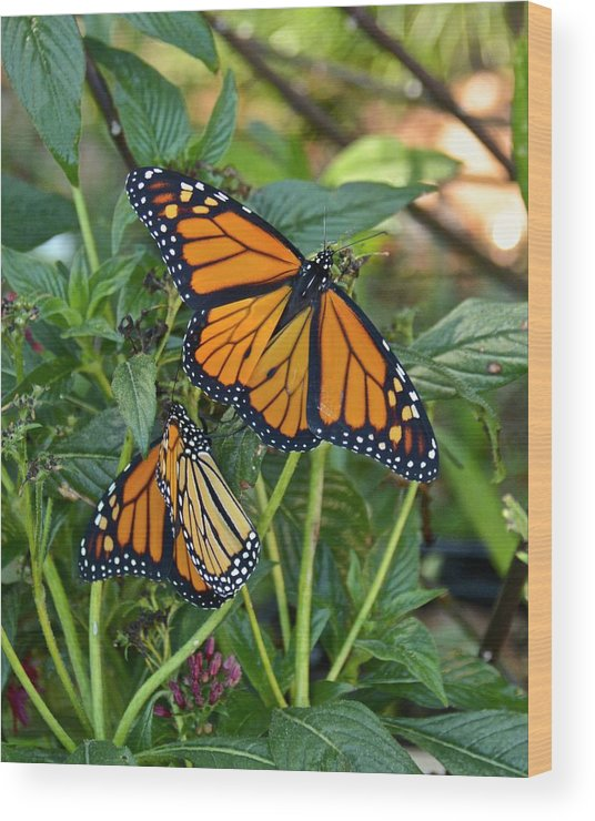 Monarch Wood Print featuring the photograph Marvelous Monarchs by Carol Bradley