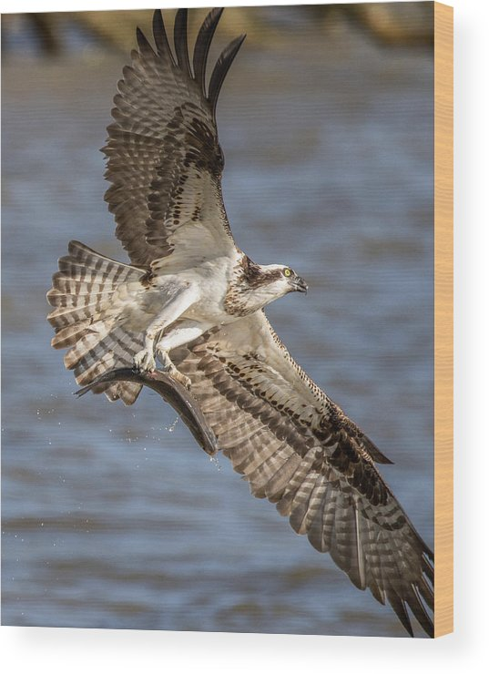 Osprey Wood Print featuring the photograph Osprey Take-out by Jeff Carlson
