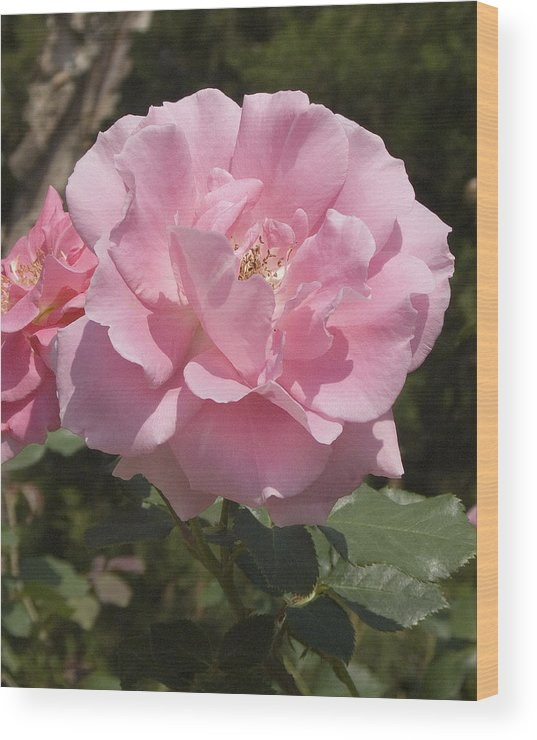 Rose Wood Print featuring the photograph Perfect Rose by Charles Ridgway