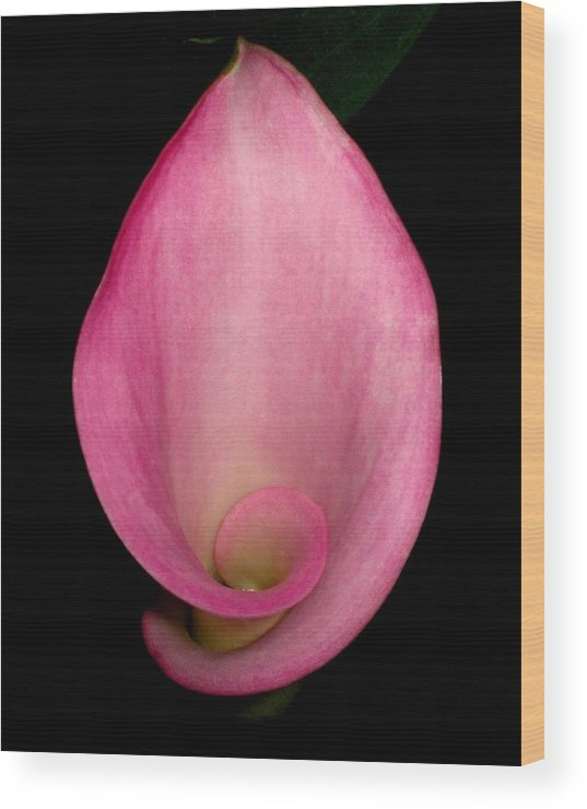 Pink Wood Print featuring the photograph Pink Calla Lily by Betnoy Smith