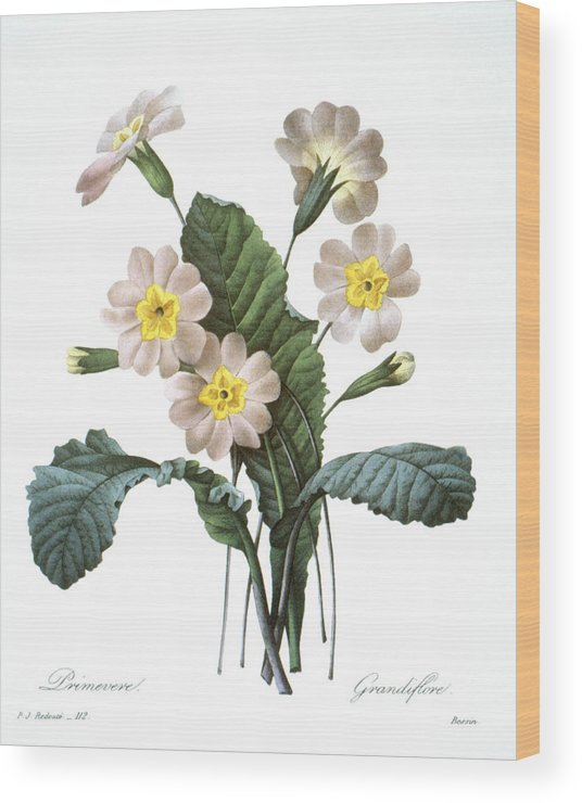 1833 Wood Print featuring the photograph Primrose (primula Aucalis) by Granger