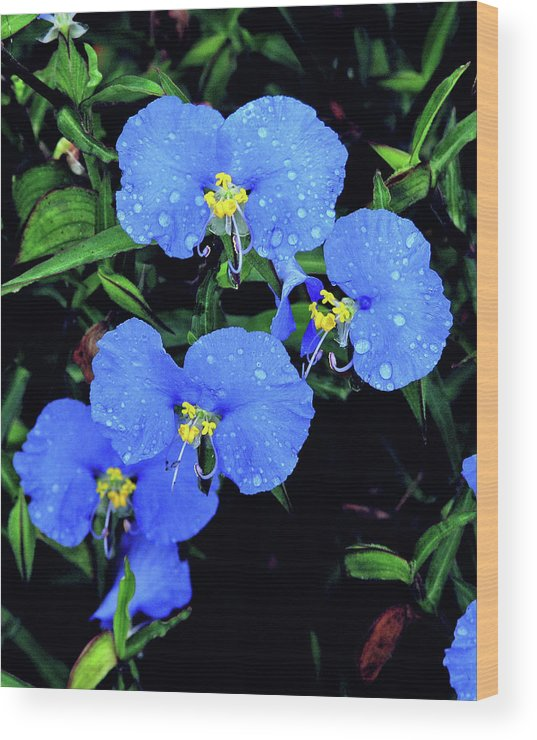 Nature Wood Print featuring the photograph Raindrops In Blue by Peg Urban
