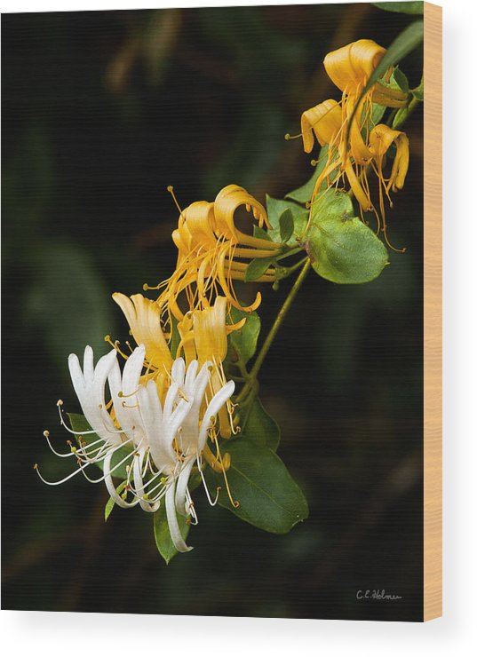 Flowers Wood Print featuring the photograph Reaching by Christopher Holmes