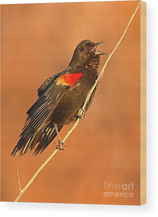 Blackbird Wood Print featuring the photograph Red-winged Blackbird Belting Out Spring Song by Max Allen