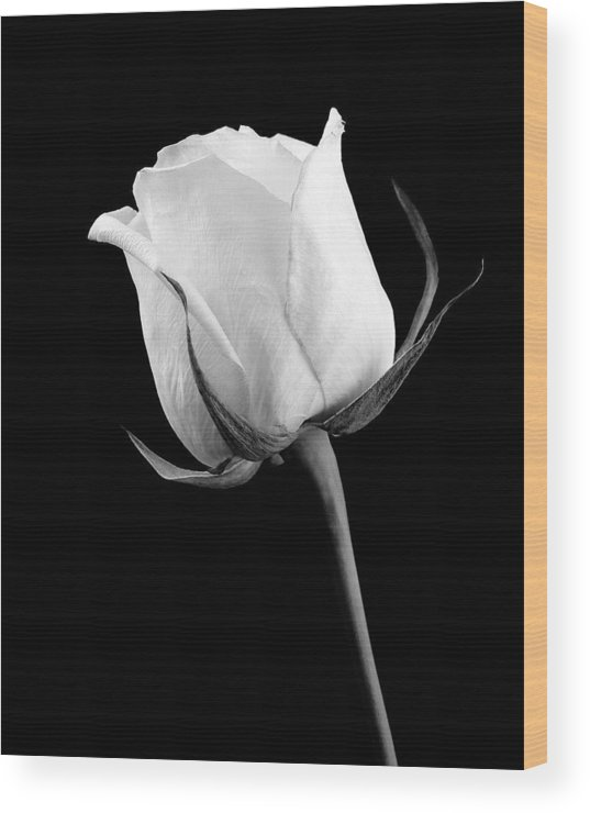 Rose Wood Print featuring the photograph Rose In Black And White by William Haney