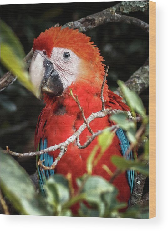 Colombia Wood Print featuring the photograph Scarlet Macaw La Macarena Colombia by Adam Rainoff