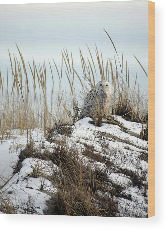 Snowy Owl Wood Print featuring the photograph Snowy Owl In Dunes #2 by Sydney Jolivet