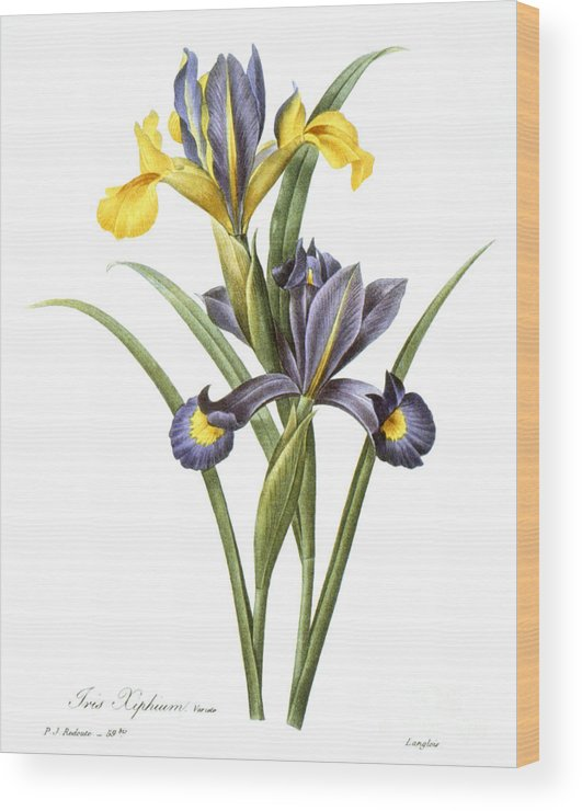 1833 Wood Print featuring the photograph Spanish Iris by Granger