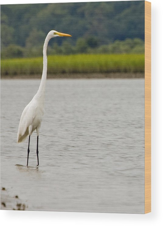 White Egret Standing Water Marsh Bird Crane Wood Print featuring the photograph White Egret by William Haney