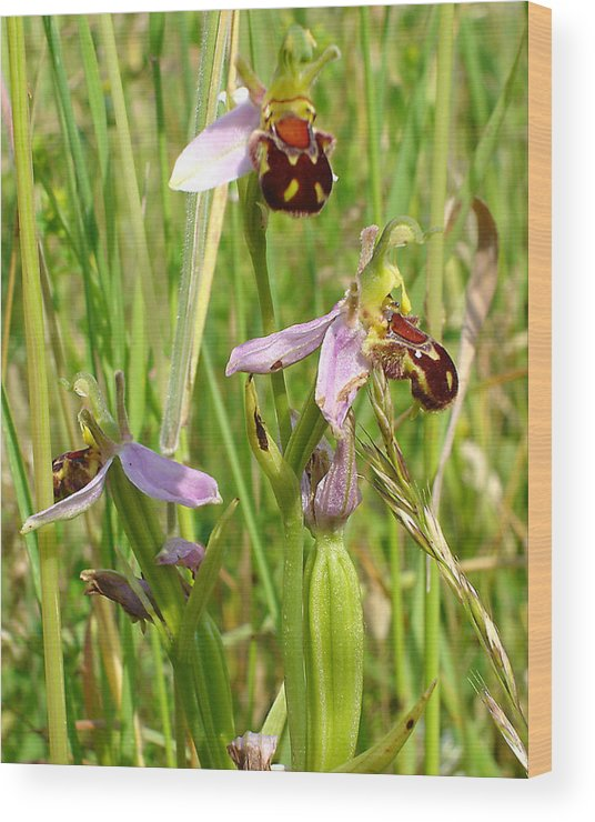 Flora Wood Print featuring the photograph Wild Meadow Bee Orchids by Susan Baker