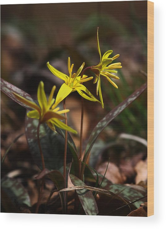 Yellow Dogtooth Violets Wood Print featuring the photograph Yellow Dogtooth Violets by Michael Dougherty