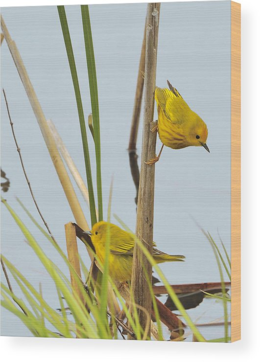 Finches Wood Print featuring the photograph Yellow Warblers by Brian Fisher