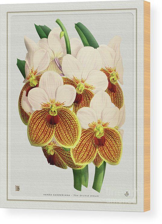 Vintage Wood Print featuring the drawing Orchid Vintage Print On Tinted Paperboard by Baptiste Posters