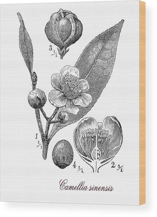 Camellia Sinensis Wood Print featuring the digital art Camellia Sinensis, Botanical Vintage Engraving by Luisa Vallon Fumi