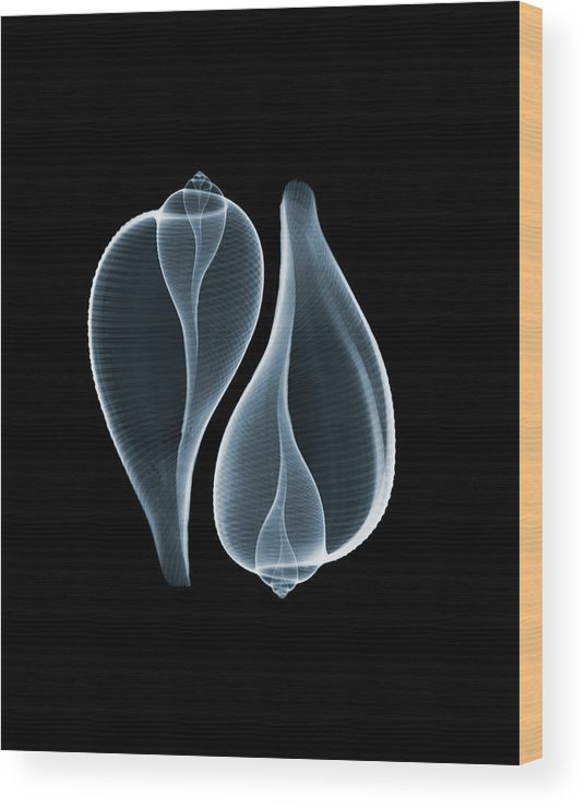 Animal Shell Wood Print featuring the photograph Ficus Communis by Nick Veasey