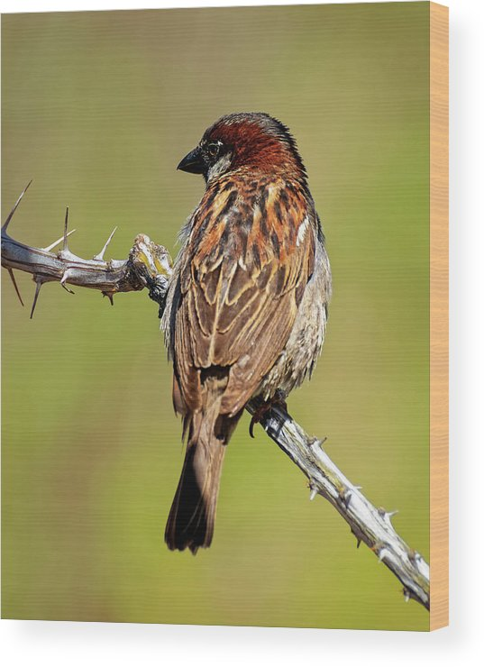 House Sparrow Wood Print featuring the photograph House Sparrow V1818 by Mark Myhaver