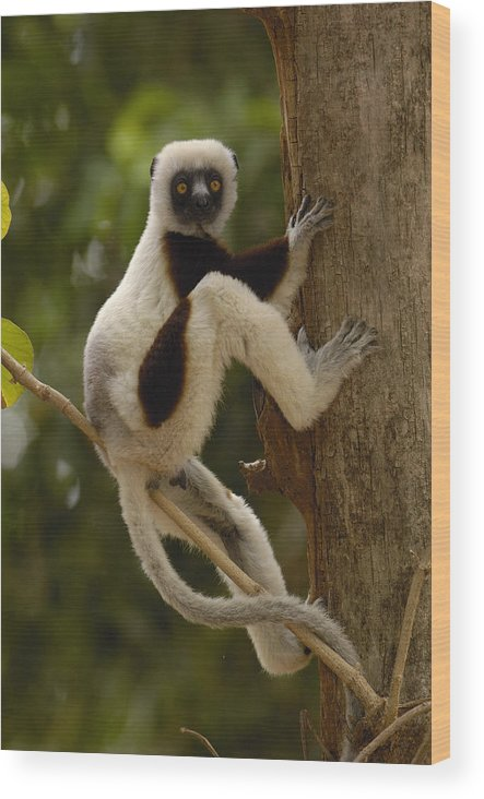 Feb0514 Wood Print featuring the photograph Coquerels Sifaka Madagascar by Pete Oxford