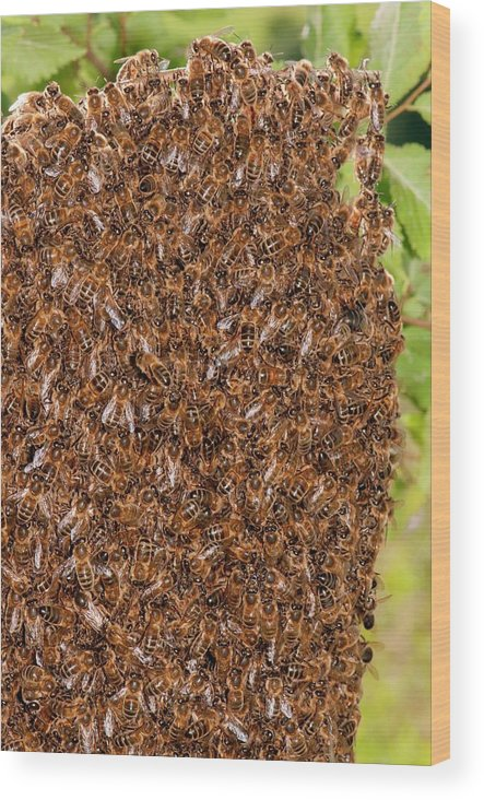 Animal Wood Print featuring the photograph Swarm Of Honey Bees by Dr. John Brackenbury