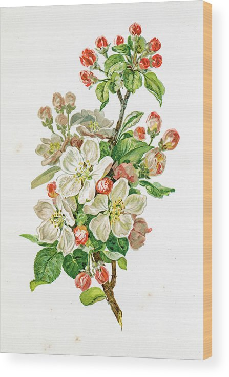 Cherry Wood Print featuring the digital art Apple Blossom 19 Century Illustration by Mashuk