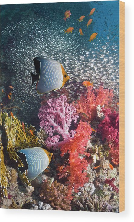 Tranquility Wood Print featuring the photograph Butterflyfish Over Coral Reef by Georgette Douwma