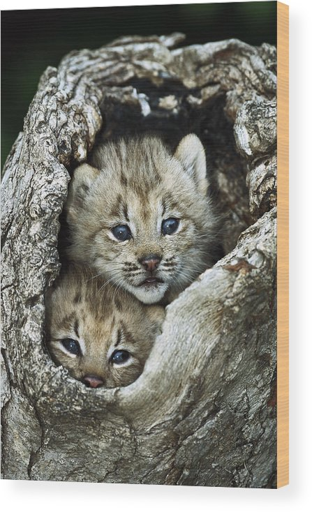 00197662 Wood Print featuring the photograph Canada Lynx Kitten Pair by Konrad Wothe
