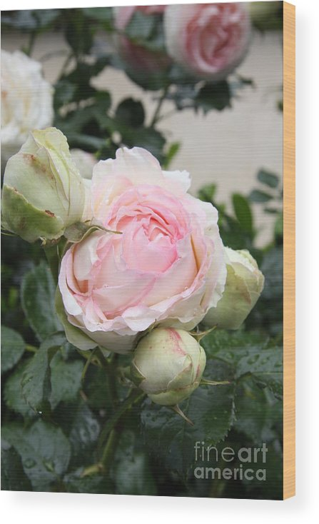 Roses Wood Print featuring the photograph Classic Rose by Christiane Schulze Art And Photography