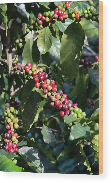 Tranquility Wood Print featuring the photograph Coffee Farming. Northern Thailand by Eitan Simanor