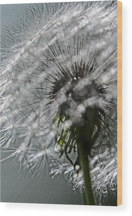 Flower Wood Print featuring the photograph Dandelion by Keith Gondron