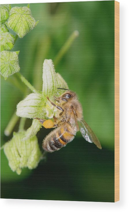 1 Wood Print featuring the photograph Honey Bee On White Bryony by Dr. John Brackenbury