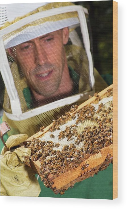 Jay Evans Wood Print featuring the photograph Honey Bee Pathogen Research by Stephen Ausmus/us Department Of Agriculture