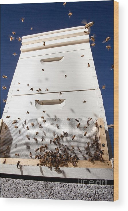 Beehive Wood Print featuring the photograph Honey Bees and Beehive by Cindy Singleton