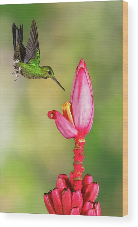 Green-crowned Brilliant Wood Print featuring the photograph Hummingbird , Green-crowned Brilliant by Kencanning