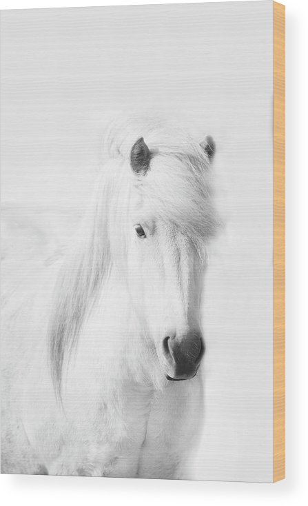 White Background Wood Print featuring the photograph Icelandic Pony In White by Grant Faint