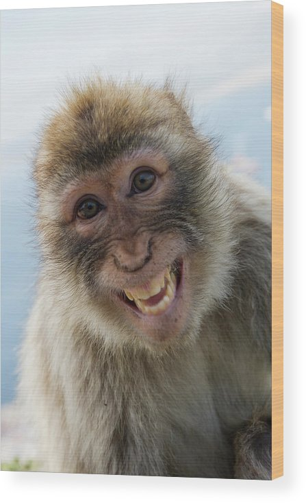 Alertness Wood Print featuring the photograph Laughing Gibraltar Ape Barbary Macaque by Holger Leue