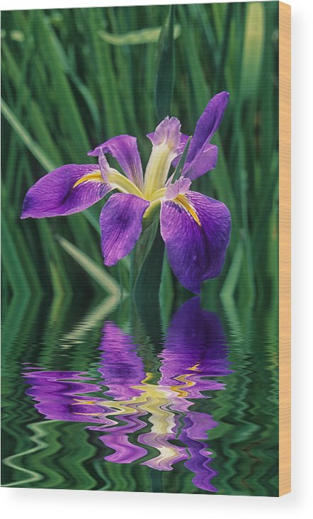 A Louisiana Iris Stands In Water Wood Print featuring the photograph Louisiana Iris by Keith Gondron