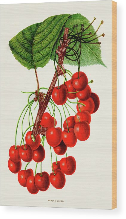 Engraving Wood Print featuring the digital art Mercer Cherry Illustration 1892 by Thepalmer