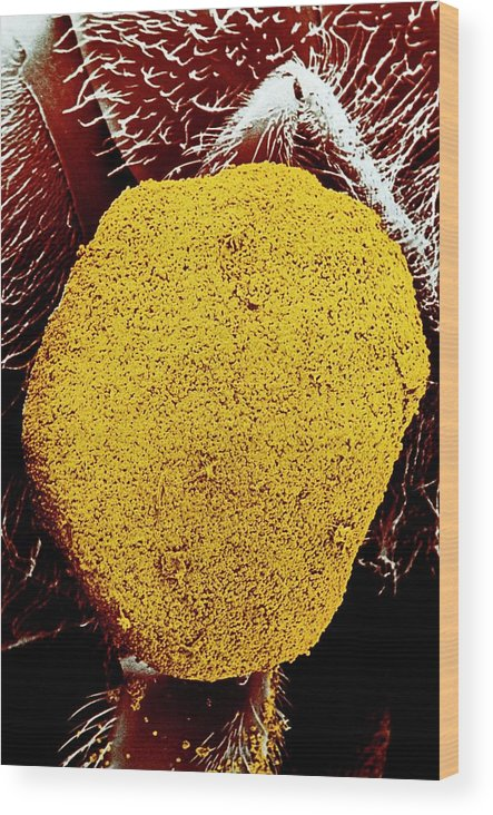 Ivy Wood Print featuring the photograph Sem Of Pollen Basket by Dr Jeremy Burgess