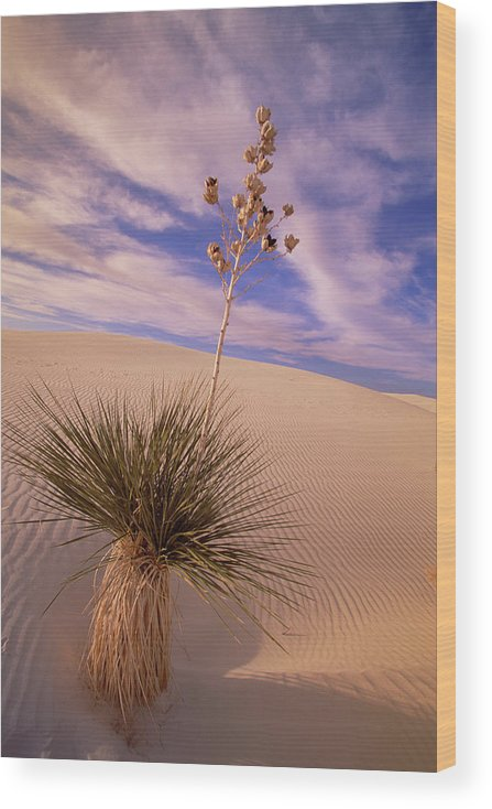 00341457 Wood Print featuring the photograph Soaptree Yucca On Dune by Yva Momatiuk and John Eastcott