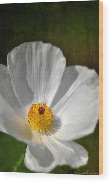 White Wood Print featuring the photograph White Prickly Poppy by Keith Gondron