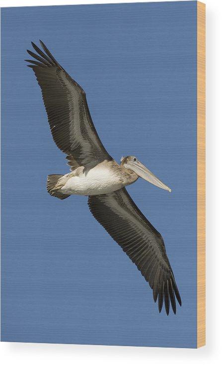 00429753 Wood Print featuring the photograph Brown Pelican Juvenile Flying Santa by Sebastian Kennerknecht