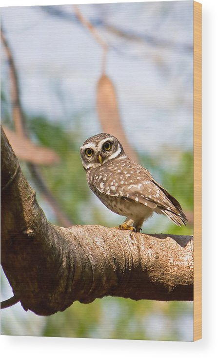 Vertical Wood Print featuring the photograph Spotted Owlet by Amith Nag Photography
