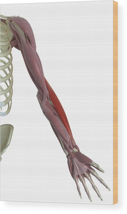 Vertical Wood Print featuring the photograph Brachioradialis by MedicalRF.com