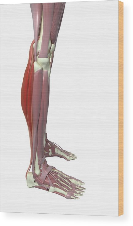 Vertical Wood Print featuring the photograph Gastrocnemius And Soleus Muscle by MedicalRF.com