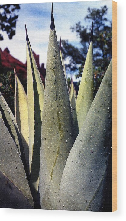 Agave Wood Print featuring the photograph Agave by Heather S Huston