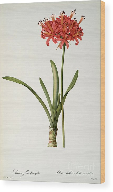 Amaryllis Wood Print featuring the drawing Amaryllis Curvifolia by Pierre Redoute