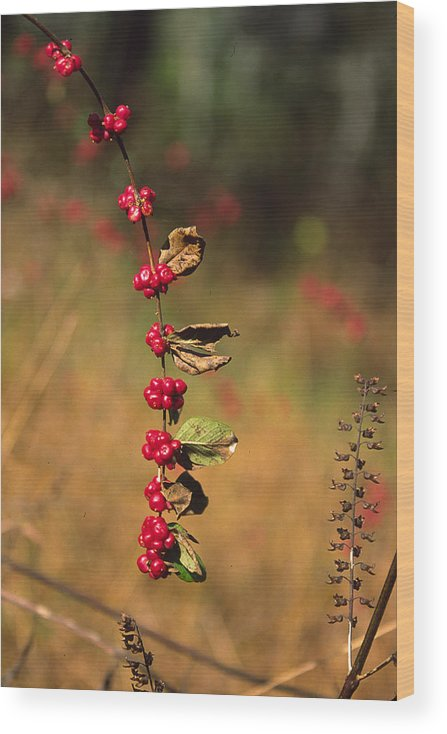 Fall Colors Wood Print featuring the photograph Another Year by Randy Oberg