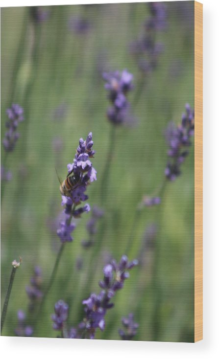 Deep Purple Lavender Wood Print featuring the photograph Bee on Deep Purple Lavender Spike by Colleen Cornelius